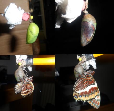 vlinder fasen