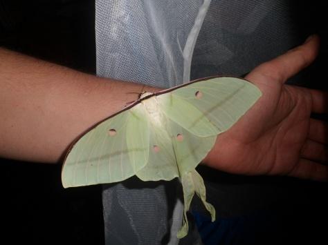 actias selene female