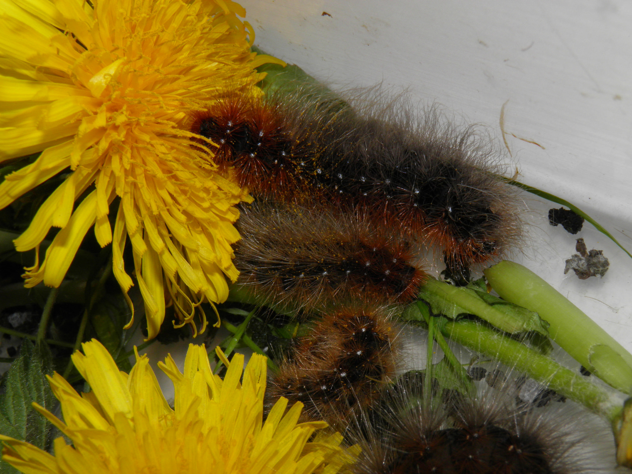 """Arctia caja — """"Garden tiger moth""""   Welcome, visitor!"""