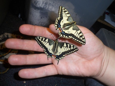 machaons